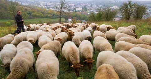 Photo d'un troupeau de mouton sur les coteaux de St Michel