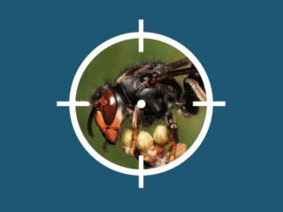 frelon asiatique vise