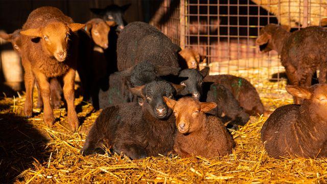 agneaux couchés dans la paille