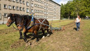 Des chevaux de traits qui tirent une herse en bas d'une barre HLM de Nétreville