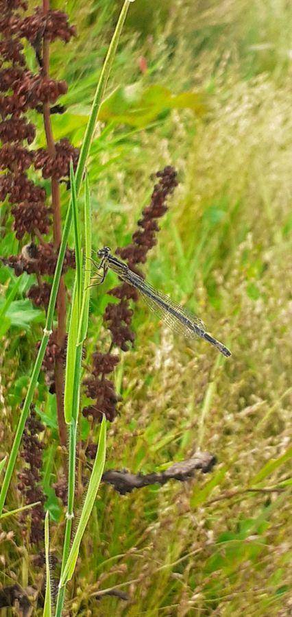 Libellule grise sur un brin d'herbe